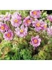 Анемона Криспа (Anemone hupehensis Crispa)