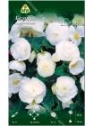Бегония мультифлора максима Белая (Begonia multiflora maxima)