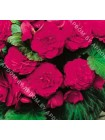 Бегония мультифлора максима Розовая (Begonia multiflora maxima)