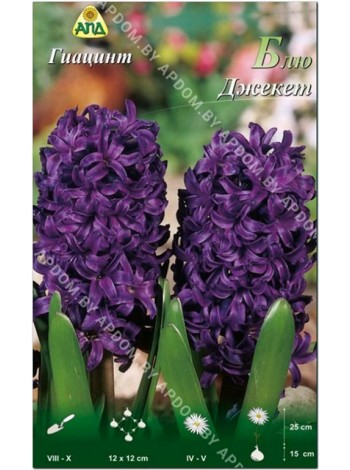 Гиацинт Блю Джекет (Hyacinthus Blue Jacket)