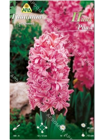 Гиацинт Пинк Роял (Hyacinthus Pink Royal)