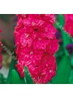 Гиацинт Холлихок (Hyacinthus Hollyhock)