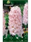 Гиацинт Чайна Пинк (Hyacinthus China Pink)