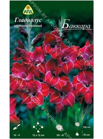 Гладиолус Баккара (Gladiolus Baccara)