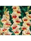 Гладиолус Блекпул (Gladiolus Blackpool)
