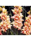 Гладиолус Мейджик Фризл (Gladiolus Magic Frizzles)