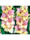 Гладиолус Мон Амур (Gladiolus Mon Amour)