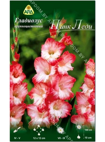 Гладиолус Пинк Леди (Gladiolus Pink Lady)
