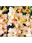 Гладиолус Румба Фризл (Gladiolus Rumba Frizzles)