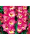 Гладиолус Уинд Сонг (Gladiolus Windsong)