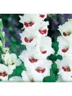 Гладиолус Фиорентина (Gladiolus Fiorentina)