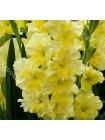 Гладиолус Флево Джайв (Gladiolus Flevo Jive)