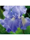 Ирис германский Виктория Фэлс (Iris germanica Victoria Falls)