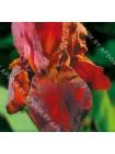 Ирис германский Салтанс Пэлэс (Iris germanica Sultan's Palace)