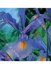 Ирис голландский Император (Iris hollandica Imperator)
