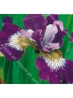 Ирис сибирский Джевелед Краун (Iris sibirica Jewelled Crown)