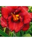 Лилейник Беррилишиос (Hemerocallis Berrylicious)