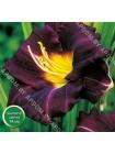 Лилейник Супер Пепл (Hemerocallis Super Purple)