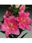 Лилия Албисола (Lilium oriental Albisola)