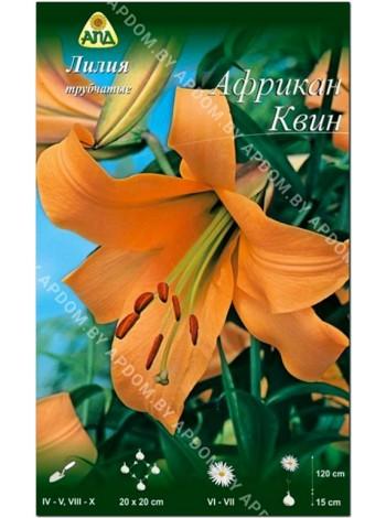 Лилия Африкан Квин (Lilium trumpet African Queen)
