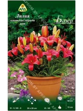 Лилия Базер (Lilium asiatic pot Buzeer)