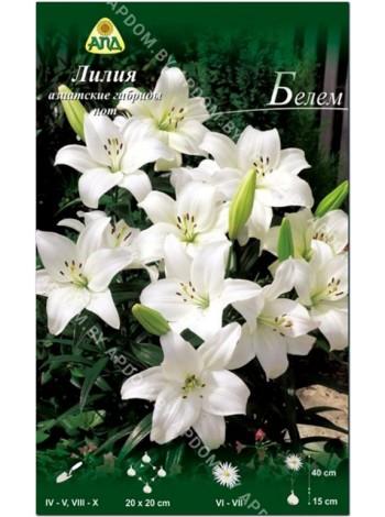 Лилия Белем (Lilium asiatic pot Belem)
