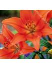 Лилия Брунелло (Lilium asiatic Brunello)