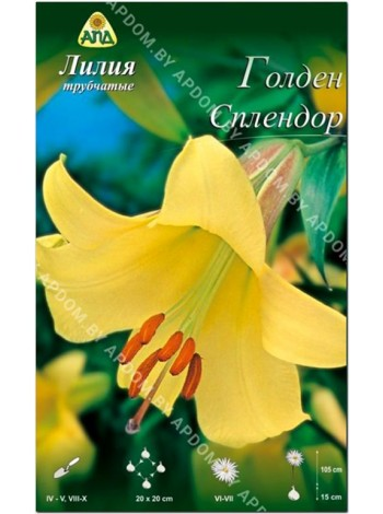 Лилия Голден Слендор (Lilium trumpet Golden Splendor)