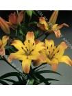 Лилия Коррида (Lilium asiatic Corrida)