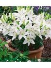 Лилия Кристал Беби (Lilium asiatic pot Crystal Baby)