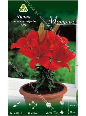 Лилия Матрикс (Lilium asiatic pot Matrix)