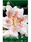 Лилия Мускадет (Lilium oriental Muscadet)