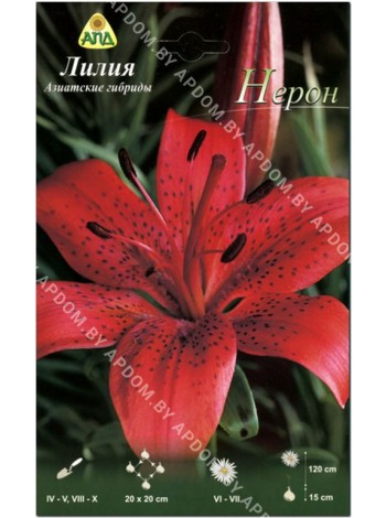 Лилия Нерон (Lilium asiatic Nerone)