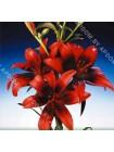 Лилия Олина (Lilium asiatic Olina)
