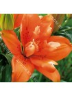 Лилия Орандж Твинс (Lilium asiatic Orange Twins)
