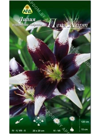 Лилия Пепл Харт (Lilium asiatic Purple Heart)