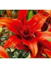 Лилия Ред Твин (Lilium asiatic Red Twin)