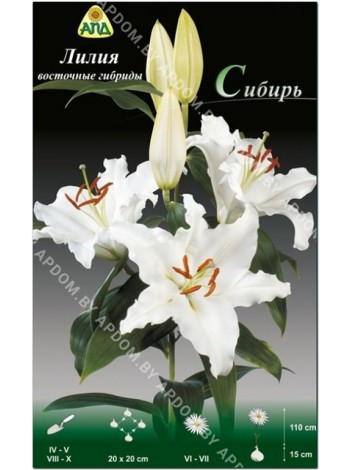 Лилия Сибирь (Lilium oriental Siberia)