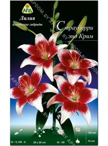 Лилия Страуберри энд Крим (Lilium asiatic Strawberry and Cream)