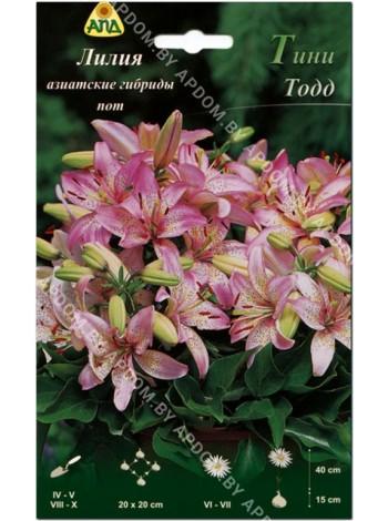 Лилия Тини Тодд (Lilium asiatic pot Tiny Todd)
