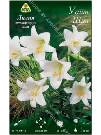 Лилия Уайт Шин (Lilium longiflorum pot White Sheen)