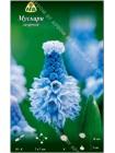 Мускари лазурный (Muscari azureum)