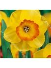 Нарцисс Бантам (Narcissus Bantam)