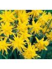 Нарцисс Рип ван Уинкл (Narcissus Rip van Winkle)