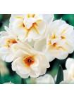 Нарцисс Сэр Уинстон Черчиль (Narcissus Sir Winston Churchil)
