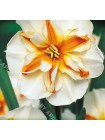 Нарцисс Треполо (Narcissus Trepolo)