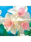 Нарцисс Уотерперри (Narcissus Waterperry )