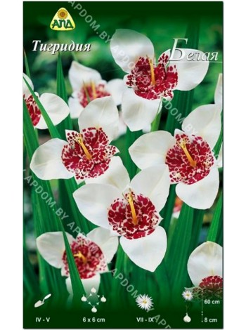 Тигридия белая (Tigridia pavonia)