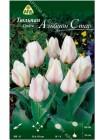 Тюльпан Альбион Стар (Tulipa Albion Star)