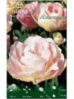 Тюльпан Анжелика (Tulipa Angelique)